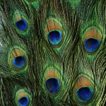 Feathers - Free-Textures-Animal-World- (1)