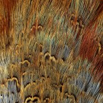 Feathers -  Free-Textures-Animal-World- (8)